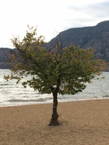 My teachers are like this tree at Skaha Lake Beach. 2015